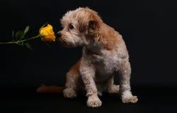 Pequeño perro mezclado con una rosa imágenes de archivo libres de regalías