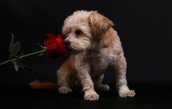 Pequeño perro mezclado con una rosa foto de archivo