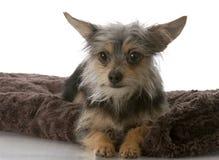 Pequeño perro mezclado de la casta foto de archivo