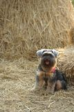 Pequeño perro mezclado negro de la raza que se sienta en el pajar fotografía de archivo libre de regalías