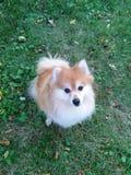 Pequeño perro mullido Fotos de archivo