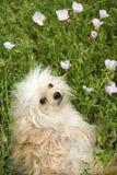 Pequeño perro mullido en campo de flor. Imagen de archivo