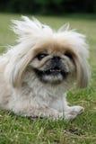 Pequeño perro mullido feliz Fotos de archivo libres de regalías