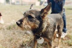 Pequeño perro mullido negro lindo del refugio en la correa que presenta afuera Fotos de archivo libres de regalías