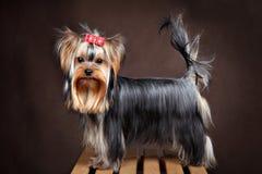 Pequeño perro nacional criado en línea pura, tiro del estudio del terrier de Yorkshire, oscuro Fotografía de archivo