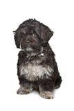 Pequeño perro negro del nacido en el baby-boom Imagenes de archivo