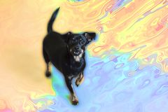 Pequeño perro negro en el fondo de colores foto de archivo