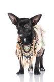 Pequeño perro negro en ropa Fotografía de archivo