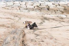 Pequeño perro, perrito del beagle que juega en la playa de Sanur de la isla tropical Bali, Indonesia imagen de archivo libre de regalías