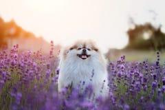 Pequeño perro pomeranian mullido en un verano caliente con el campo de la lavanda Imagenes de archivo
