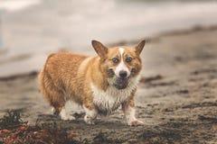 Pequeño perro que juega en la playa fotografía de archivo libre de regalías