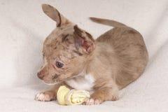 pequeño perro que mastica un hueso fotos de archivo libres de regalías