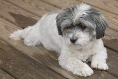 Pequeño perro que miente en el pórtico Imagen de archivo libre de regalías