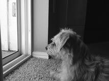 Pequeño perro que mira fijamente afuera Imagen de archivo