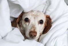 Pequeño perro que mira para arriba de debajo las cubiertas de cama fotografía de archivo libre de regalías