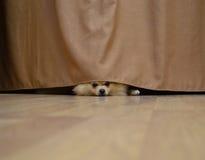 Pequeño perro que oculta detrás de una cortina Fotografía de archivo libre de regalías