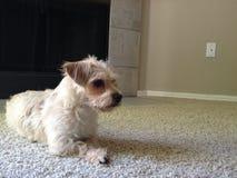 Pequeño perro que se relaja Imagen de archivo