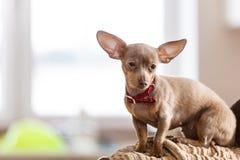 Pequeño perro que se sienta en el sofá fotos de archivo