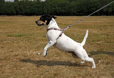 Pequeño perro que tira en un avance Fotos de archivo