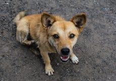 Pequeño perro rojo con la boca abierta fotos de archivo libres de regalías