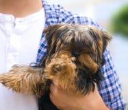 Pequeño perro sostenido por un hombre Fotos de archivo libres de regalías