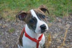 Pequeño perro Staffordshire marrón y blanco con la cara linda y triste Foto de archivo libre de regalías