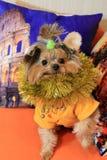 Pequeño perro York y decoraciones 2 de la Navidad Imagen de archivo