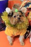 Pequeño perro York y decoraciones 3 de la Navidad Fotos de archivo
