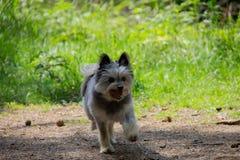 Pequeño perro Yorkshire y el caminar pomerarian en el bosque que juega con una piña imagen de archivo