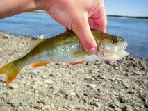 Pequeño pescador de la perca en la mano Foto de archivo