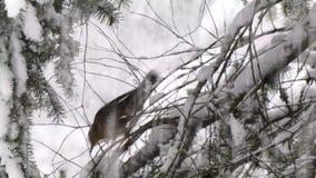Pequeño petirrojo que oculta en las ramas cubiertas en nieve almacen de metraje de vídeo