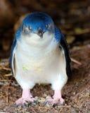Pequeño pingüino Fotos de archivo libres de regalías