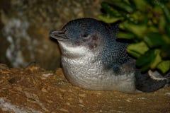 Pequeño pingüino - menor de Eudyptula - en el korora maorí, vuelta nocturna a la costa para alimentar polluelos en las jerarquías foto de archivo libre de regalías