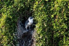Pequeño pingüino que goza del sol en la entrada de la jerarquía en la isla de Phillip, Victoria, Australia fotografía de archivo libre de regalías