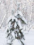 Pequeño pino cubierto con nieve Imagenes de archivo