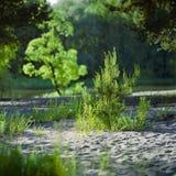 Pequeño pino en el bosque sping Imagen de archivo libre de regalías