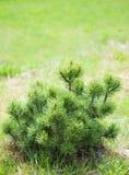 Pequeño pino en fondo verde. Fotos de archivo