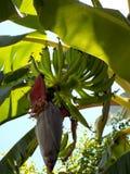 Pequeño plátano verde turco Balbisiana de Musa del acuminata de Musa foto de archivo