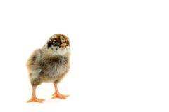 Pequeño pollo fotografía de archivo libre de regalías