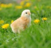 Pequeño pollo imagen de archivo
