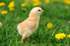 Pequeño pollo fotografía de archivo
