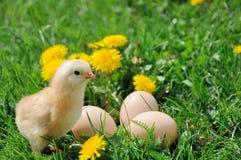 Pequeño pollo Fotos de archivo libres de regalías