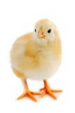 Pequeño pollo foto de archivo