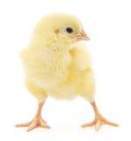 Pequeño pollo Imagen de archivo libre de regalías