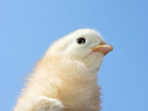 Pequeño pollo amarillo claro Fotos de archivo