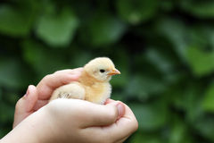Pequeño pollo amarillo en mano del niño Imagen de archivo
