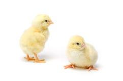Pequeño pollo dos aislado en el fondo blanco Imagen de archivo libre de regalías