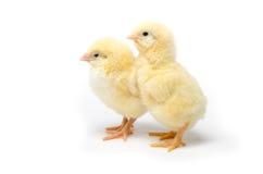 Pequeño pollo dos aislado en el fondo blanco Foto de archivo libre de regalías