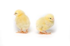 Pequeño pollo dos aislado en el fondo blanco Imagen de archivo