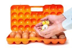 Pequeño pollo en fondo del envase de las manos con los huevos Imagen de archivo libre de regalías